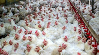 تصویر از خرید ۲۴ هزار تن مرغ از مرغداران در فروردین 99