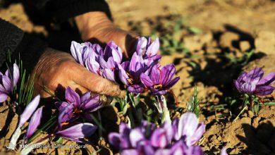 تصویر از طلای سرخ ارزان شد؛ ۸۵ درصد زعفران تولیدی صادراتی است