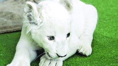 تصویر از مرگ سومین توله شیر سفید هویزه