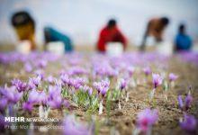 Photo of زعفران ایران را ۳۰۰ دلار میخرند ۷۰۰۰ دلار میفروشند