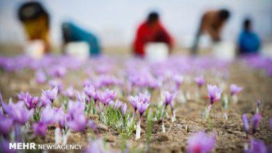 تصویر از زعفران ایران را ۳۰۰ دلار میخرند ۷۰۰۰ دلار میفروشند