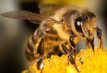 """تصویر از تأثیر """"نیش زنبور"""" بر درمان بیماری کرونا حقیقت دارد؟"""