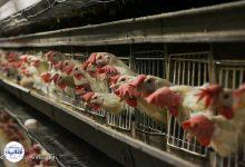 تصویر از نرخ هر کیلو مرغ به ۱۷ هزار و ۹۰۰ تومان رسید